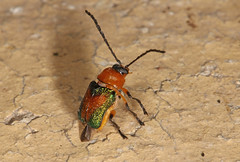 Leaf beetle - Aporocera Aporocera iridipennis (Jenny Thynne) Tags: beetle leafbeetle brisbane queensland australia coleoptera chrysomelidae aporoceraaporocera iridipennis night