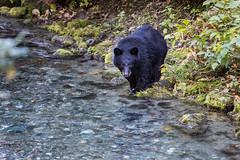 Black Bear (Loren Mooney) Tags: bear wildlife blackbear mammal people outdoors fishing fishcreek nature wilderness animal bearsursidae