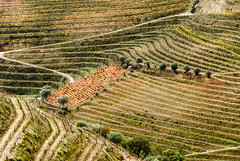 Portugal-Douro vineyards (Francisco (PortoPortugal)) Tags: 2112016 portugal douro vinhas vineyards vinho wine paisagem landscape portografiaassociaofotogrficadoporto franciscooliveira