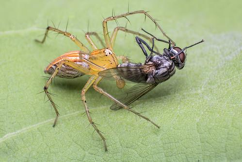 Lynx spider kills Fleshfly