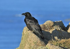 Raven on the rocks (andyt1701) Tags: jersey