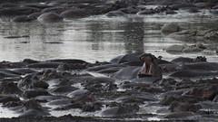 _MG_0604 (esevelez) Tags: tanzania africa serengueti serengeti animales animal animals parque nacional national park nature naturaleza hipopotamo hippopotamus charca pool pond
