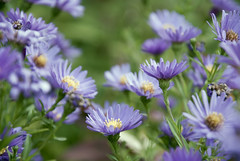 October Flowers (johanna.dahlqvist) Tags: flowers lavender nature outdoors photography plants