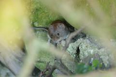 Mouse (jazalty) Tags: staveleynaturereserve staveley nature yorkshirewildlifetrust mouse