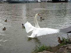 IMG_3455_Fotor01 (Ela's Zeichnungen und Fotografie) Tags: hannover mittellandkanal kanal wasser natur landschaft ente schwan boot