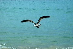 Como en el cielo... (ZAP.M) Tags: gaviota playa bolonia cdiz andaluca espaa naturaleza nature flickr nikon nikond5300 zapm mpazdelcerro