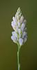 CAC019033a (jerryoldenettel) Tags: 2015 coastalplainmilkwort fl fabales kissimmeeprairiepreserve okeechobeeco polygala polygalasetacea polygalaceae rosids wildflower flower milkwort
