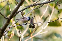Marsh Tit (CJH Natural Photography) Tags: bird vogel natural wildlife nature wild nikon d750 telephoto 300mm pf f4 300mmf4 300f4 nikkor teleconverter tc17eii pfedvr tit marsh marshtit inspect