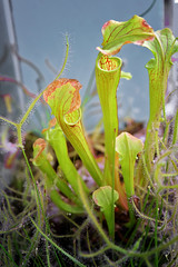 Mix Plantas Carnivoras (fernandojaviergallegos1983) Tags: carnivorous plant drosera sarracenia bugeater sundew