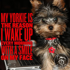 A grin most dayshow about you??? (itsayorkielife) Tags: yorkiememe yorkie yorkshireterrier quote