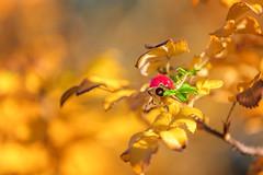 Autumn - Nice weekend! (bhansen.kiel) Tags: autumn herbst farben gelb orange grn rot red green color popping makro macro canon 5dsr bokeh dnemark graerup hagebutte rose hip weekend