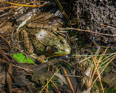 silent watcher (the_green_squirrel) Tags: amphibian frog massachusetts fauna pleasantvalleywildlifesanctuary ma lenox unitedstates us