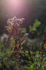 gegenlicht (tkrewink) Tags: gegenlicht autumn fall sun flare