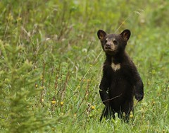 Baby care bear... (Guy Lichter Photography - Thank you for 3M views) Tags: canon 5d3 canada manitoba rmnp wildlife animals mammal mammals bear bears blackbear cub