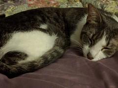 2016- Violet 08 (teresamarkos) Tags: cat cats kitten kittens felines feline