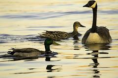 Bernache du Canada (Canada Goose) (yveshebert) Tags: bernaches goose oiseaux oiseauxduqubec birds gatineau qc qubec quebec outaouais ottawariver