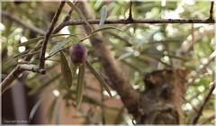Die Allerletzte * The very last * La ltima *   . P1320909-002 (maya.walti HK) Tags: 2016 291116 aceitunas alcdia balearen copyrightbymayawaltihk espaa flickr mallorca oliven olives olivos panasoniclumixfz200 pflanzen plantas plants spain spanien