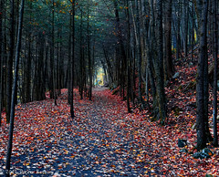 Walking towards the Light!! (Doreen Bequary) Tags: beebrook washington connecticut autumn automne fall fallfoliage d500 leaves forest foliage evergreens