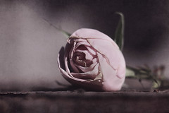 (Jaymi Britten) Tags: pinkrose pale rose roses romantic emotive wilt wilted petals flower rosie fallen brittenphoto nature muted mutedtones beauty stilllife still