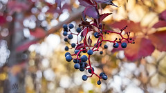 wild grapes (marianna_a.) Tags: p2940033 wild grapes blue fruit flora foliage red stem autumn fall leaves fence chainlinked hff marianna armata bokeh sdof bright sunhy vibrant
