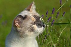 Grass & Lavender (Sandra Londono) Tags: cats lavender gatos