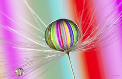 Pastell(ish) it is (Anne Rusten) Tags: annerusten artistic art abstract nikon droplet drop dandelionseed dof dandelion droplets dandelionart delicate water waterdroplet colourful colour closeup indoor pastel