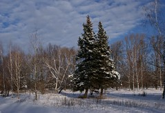 Two friends (big.tree) Tags: landscape outdoor nature snow winter spruce friendship tree