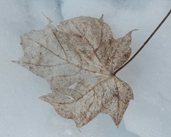 Pale Death 12/10/16 (dianecordell) Tags: leaf snow quotes glensfallsny crandallpark nature cold