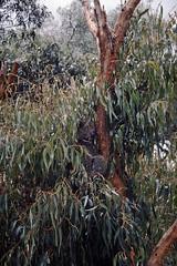 Koala bear (Stefan Fisher) Tags: 35mm kodakektachrome minoltaxd7 australia outdoor scanned downunder oz koalabear travel victoria greatoceanroad