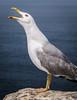 Herring gull calling (Ignacio Ferre) Tags: bird ave pájaro gaviota gaviotapatiamarilla laruscachinnans larus gull seagull herringgull nikon spain españa galicia animal islascíes cíesislands