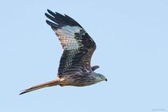 Red kite (Shane Jones) Tags: redkite kite bird birdinflight birdofprey raptor wildlife nature nikon d500 200400vr