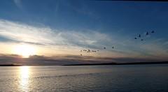 Gwyddau gwyllt, Y Foryd Caernarfon (Gwylan) Tags: birds geese gwyddau caernarfon yforyd seashore machlud cymylau adar awyr arfordir cymru wales afonmenai menaistrait autumn hydref