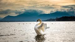 Mein erstes Model (thomasenzinger) Tags: schwan schwne tier tiere landschaft chiemsee chiemgau see bayrisches meer
