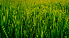 Ricefield (Arnaud D...) Tags: riziere ricefield ubud bali rice indonesia indonsie