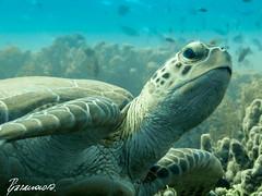 Beauty of the Sea (Alexandra1183) Tags: turtle redsea schildkrte tauchen diving rotesmeer shagraalam