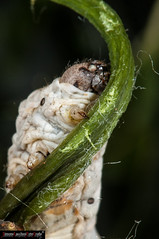 Bombyx mori  caterpillar (frillicca) Tags: 2010 bacodaseta bombycidae bombyxmori butterfly caterpillar closeup falena farfalla giugno insect insetto june lepidoptera lepidottero macro macrofotografia moth roma seta silkworm insetti