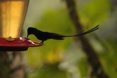 hummingbird mashpilodge cloudforest longtailedsylph aglaiocercuskingii longtailedsylphy aves trochilidae akingii birds ecuador mashipilodgehummingbirdwatchers birdwatching mashpi pacto revervaprivadamashpi kolibris nationalgeographiclodge biodiversity andeancloudforest calacali