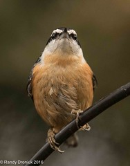 Harrumph! (rdroniuk) Tags: birds smallbirds passerines nuthatches redbreastednuthatch sittacanadensis oiseaux passereaux sittelleàpoitrinerousse