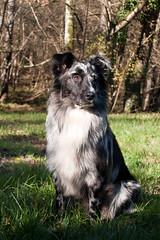 IMG_2820 (Celtycrow) Tags: chien berger australien sheperd