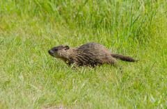 Woodchuck 2 (Christa Rittberg) Tags: woodchuck groundhog lakebronsonstatepark minnesota creativecommons mammal