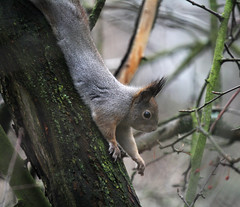 A squirrel stretching (Aikoara) Tags: november autumn fall syksy naturephotography wildlifephotography helsinki finland winter yoga squirrel orava stretching