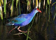 Purple Swamphen (Porphyrio porphyrio) (zgrial) Tags: bird swamphen purpleswamphen nonnative invasive greencay wetlands boynton florida usa
