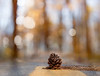 pinecone on my path = biking hazard (marianna_a.) Tags: pinecone cone path bokeh woods trail quebec mariannaarmata hbw