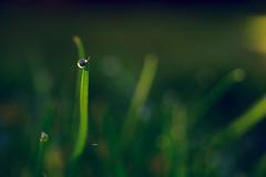 """""""Drop"""" (Ilargia64) Tags: drop waterdrop green grass macro bokeh césped nature garden amayasanchez"""