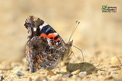 The Indian Red Admiral -  (Antonio Giudici Butterfly Trips) Tags: thailand chiangmai chiangdao butterflies lepidoptera theindianredadmiral  nymphalidae nymphalinae vanessaindicaindica