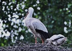 """11aolw-ooievaar.kuiken-31-5-16-b'derij-parkje-k.vliet-leiden-(n.D700-t.150-600vc) (""""HansFfloraFauna"""") Tags: stork chicken nd700 nest park"""