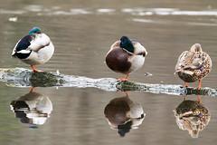 LB 12-6-16-427.jpg (Andy-Anderson) Tags: animals birds loantakabrook mallard newjersey fall outdoors nature anasplatyrhynchos anatidae autumn nj
