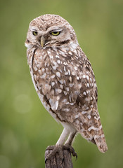 Burrowing Owl (kf55) Tags: buonesairesprovence argentina burrowingowl owl