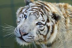 04052013 - Tigre blanc (Marie Dupraz) Tags: tigre tiger flin