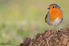 Robin (parry101) Tags: cardiff whitchurch forest farm south wales bird birds european robin robins animal outdoor